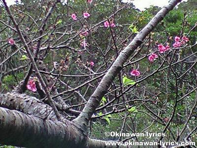 荒川のカンヒザクラ(国指定天然記念物)@石垣島