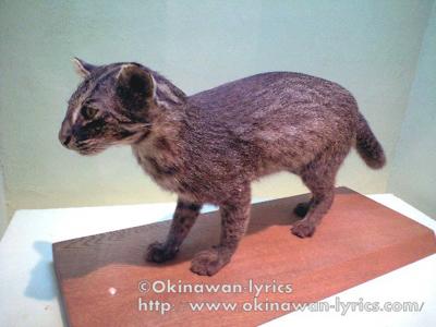 イリオモテヤマネコの剥製@西表島野生動物保護センター