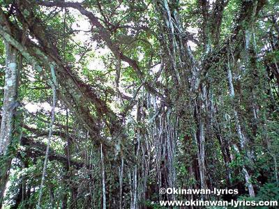 奄美諸島で最大のガジュマルの木@喜界島