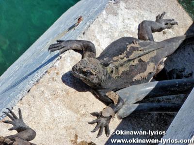 海イグアナ(marine iguana)@バルトラ島(Bltra island), ガラパゴス(Galapagos)