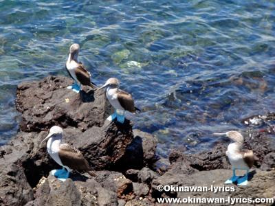 青足カツオドリ(blue-footed booby)@バルトラ島(Bltra island), ガラパゴス(Galapagos)