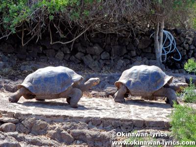 ゾウガメ(giant tortoise)@チャールズダーウィン研究所(Estación Científica Charles Darwin), サンタクルス島(Santa Cruz island), ガラパゴス(Galapagos)