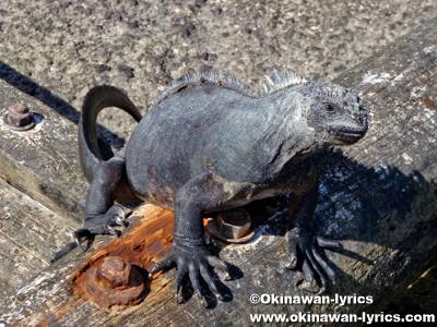海イグアナ(marine iguana)@サンタクルス島(Santa Cruz island), ガラパゴス(Galapagos)