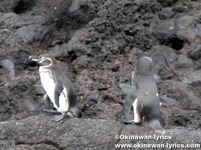 ペンギン(penguin)@バルトロメ島(Bartolomé island), ガラパゴス(Galapagos)