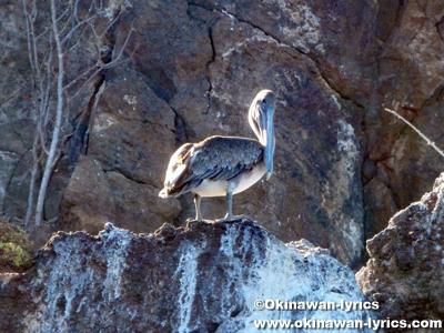 ペリカン(pelican)@ラビダ島(Rabida island), ガラパゴス(Galapagos)