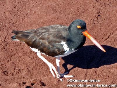 アメリカミヤコドリ(american oystercatcher)@ラビダ島(Rabida island), ガラパゴス(Galapagos)