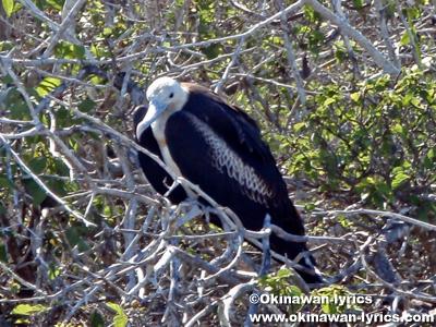 グンカンドリ(frigate bird)@ジェノベサ島(Genovesa island), ガラパゴス(Galapagos)