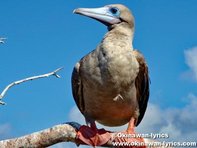 赤足カツオドリ(red-footed booby)@ジェノベサ島(Genovesa island), ガラパゴス(Galapagos)