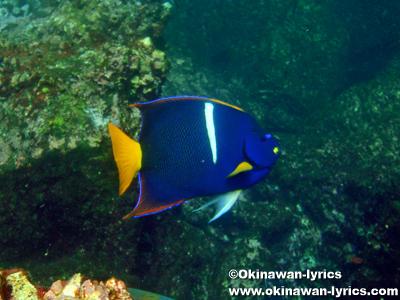 シュノーケル, king angelfish@ジェノベサ島(Genovesa island), ガラパゴス(Galapagos)