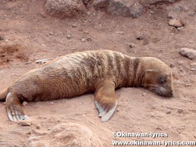 アシカ(sea lion)@ジェノベサ島(Genovesa island), ガラパゴス(Galapagos)
