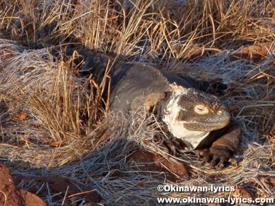 陸イグアナ(land iguana)@ノースセイモア島(North Seymour island)