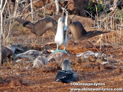 グンカンドリ(frigate bird)の求愛行動@ジェノベサ島(Genovesa island), ガラパゴス(Galapagos)
