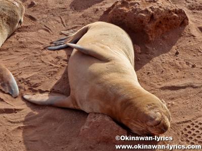 アシカ(sea lion)@ノースセイモア島(North Seymour island)