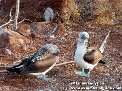 青足カツオドリ(blue-footed booby)@ノースセイモア島(North Seymour island)