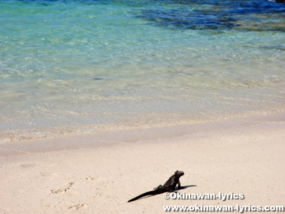 海イグアナ(marine iguana)@Las Bachas Beach, サンタクルス島(Santa Cruz island)
