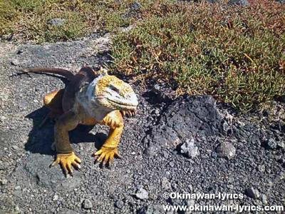 陸イグアナ(land iguana)@プラザ島(Plazas island), ガラパゴス(Galapagos)
