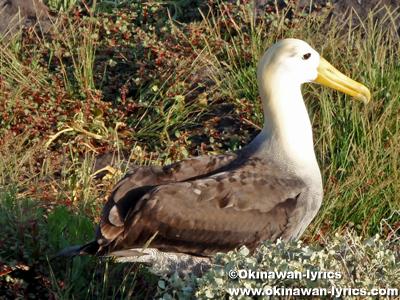 (albatross)@エスパニョーラ島(Espanola island), ガラパゴス(Galapagos)