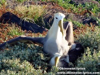 アホウドリ(albatross)@エスパニョーラ島(Espanola island), ガラパゴス(Galapagos)