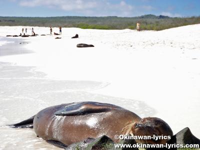 アシカ(sea lion)@エスパニョーラ島(Española island), ガラパゴス(Galapagos)