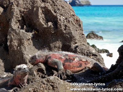 海イグアナ(marine iguana)@エスパニョーラ島(Española island), ガラパゴス(Galapagos)