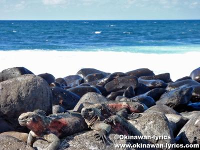 海イグアナ(marine iguana)@エスパニョーラ島(Espanola island), ガラパゴス(Galapagos)