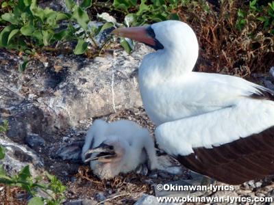 ナスカカツオドリ(Nazca booby)@エスパニョーラ島(Espanola island), ガラパゴス(Galapagos)