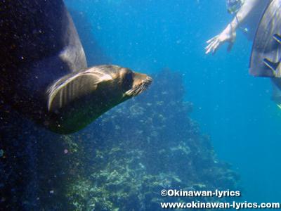シュノーケル, アシカ(sea lion)@エスパニョーラ島(Española island), ガラパゴス(Galapagos)