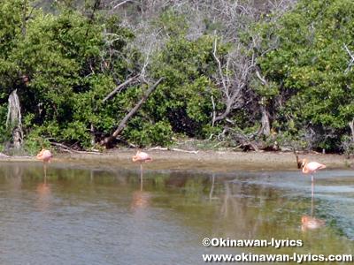フラミンゴ(flamingo)@フロレアナ島(Floreana island), ガラパゴス(Galapagos)