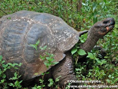 ゾウガメ(giant tortoise)@El Chato, サンタクルス島(Santa Cruz island), ガラパゴス(Galapagos)