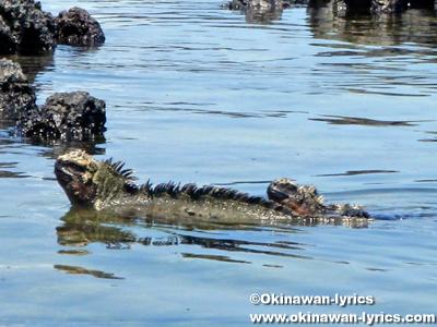 海イグアナ(marine iguana)@Concha de Perla, イザベラ島(Isabela island), ガラパゴス(Galapagos)