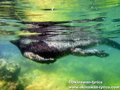シュノーケル, 海イグアナ(marine iguana)@Concha de Perla, イザベラ島(Isabela island), ガラパゴス(Galapagos)