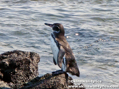 ペンギン(penguin)@Las Tintoreras, ガラパゴス(Galapagos)