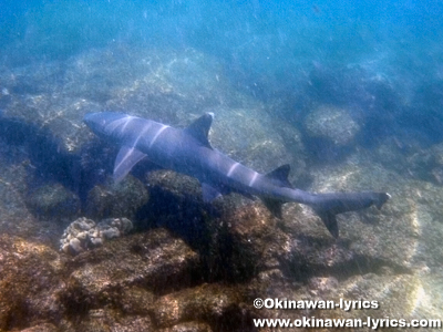 サメ(shark)@Las Tintoreras, ガラパゴス(Galapagos)