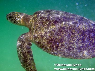 シュノーケル, ウミガメ(sea turtle)@Las Tintoreras, ガラパゴス(Galapagos)