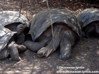 Giant Tortoise Breeding Center@イザベラ島(Isabela island), ガラパゴス(Galapagos)