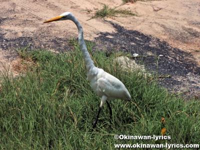 サギ(heron)@イザベラ島(Isabela island), ガラパゴス(Galapagos)