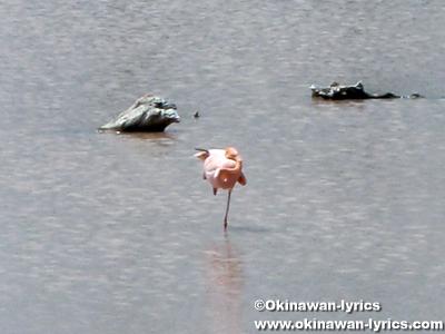 フラミンゴ(flamingo)@イザベラ島(Isabela island), ガラパゴス(Galapagos)