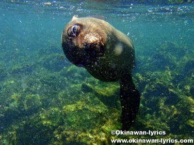 シュノーケル, アシカ(sea lion)@Puerto Grande, サンクリストバル島(San Cristobal island), ガラパゴス(Galapagos)