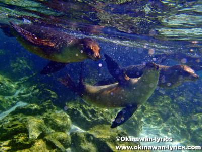 子供のアシカとシュノーケル(snorkeling with the babies of sea lion)@ロボス島(Lobos island), ガラパゴス(Galapagos)