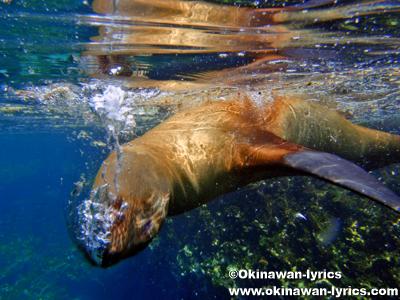 シュノーケル, アシカ(sea lion)@Las Tijeretas, サンクリストバル島(San Cristobal island), ガラパゴス(Galapagos)