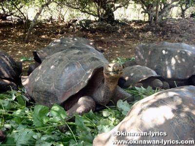 ゾウガメ(giant tortoise)@Galapaguera de Cerro Colorado, サンクリストバル島(San Cristobal island), ガラパゴス(Galapagos)