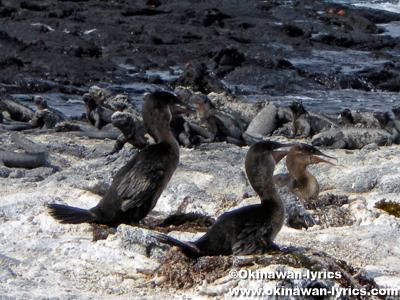 コバネウ(cormorant)@フェルナンディナ島(Fernandina island), ガラパゴス(Galapagos)