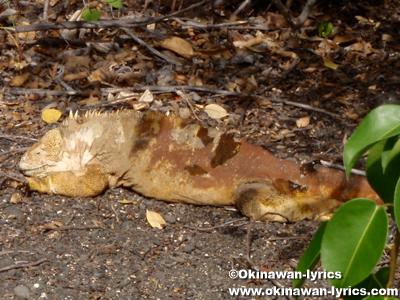 陸イグアナ(land iguana)@Bahía Urbina, イザベラ島(Isabela island), ガラパゴス(Galapagos)