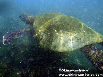 シュノーケル, ウミガメ(sea turtle)@Bahía Urbina, イザベラ島(Isabela island), ガラパゴス(Galapagos)