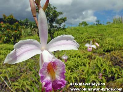 ナリヤラン(Arundina graminifolia)@西表島