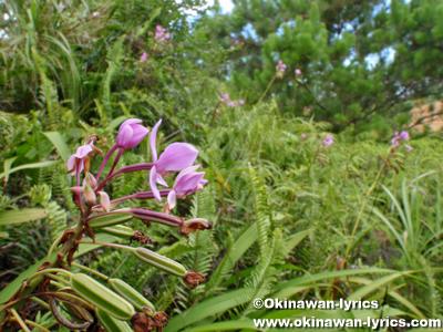 コウトウシラン(Spathoglottis plicata)@西表島