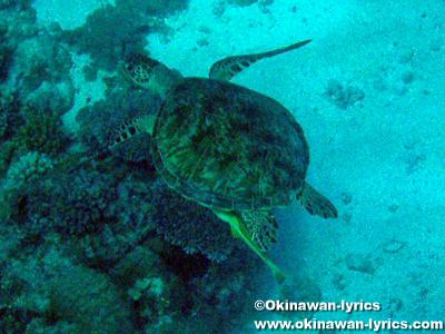 カヤンゲル島Blue Holeのウミガメ