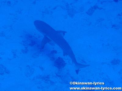 カヤンゲル島Blue Holeの鮫