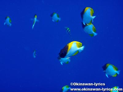 カスミチョウチョウウオ(pyramid butterflyfish), シュノーケル@ビッグドロップオフ(Big Drop-off), パラオ(Palau)