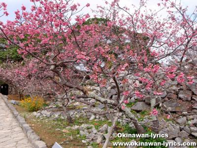 桜まつり@今帰仁城